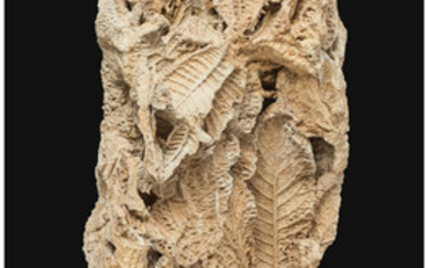 Fossil Leaves Unidentified Species Presumed Austria This decorative...
