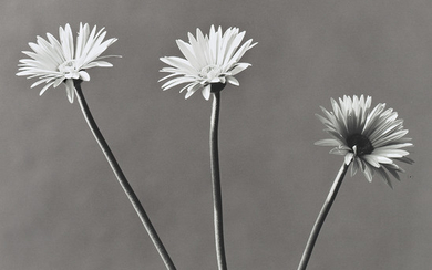 ROBERT MAPPLETHORPE (1946-1989), African Daisies, 1982