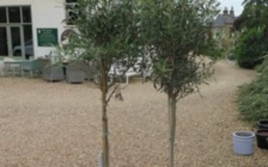 A pair of tall olive trees