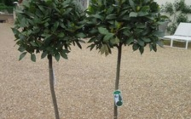 a pair of standard olive trees