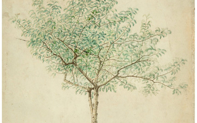 A. Grinevato (19th Century), A Pear Tree Drawn from Nature in Columbia, South Carolina (1865)