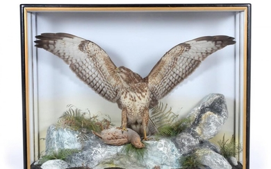 Taxidermy: A Large Cased Common Buzzard (Buteo buteo), by James...