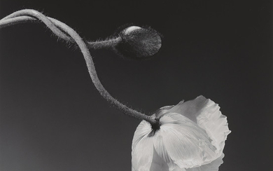 ROBERT MAPPLETHORPE (1946-1989), Poppy, 1988