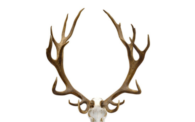 A Large Set of Stag Antlers
