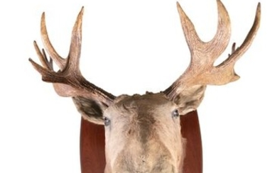 TAXIDERMYA MOOSE HEAD AND ANTLER TROPHY, mounted o…