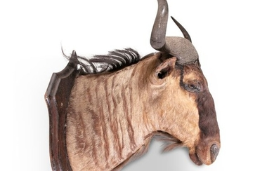 TAXIDERMYA WILDEBEESTE HEAD TROPHY, mounted on an …
