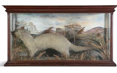 TAXIDERMYA TIMBER FRAMED DISPLAY CABINET OF AN OTT…