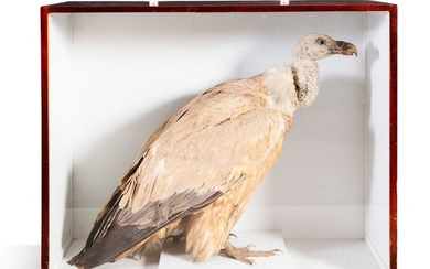 A 19TH CENTURY TAXIDERMY SPECIMEN OF AN AFRICAN VU…