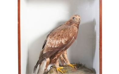 TAXIDERMY A 19TH CENTURY SPECIMEN OF A GOLDEN EAGL…