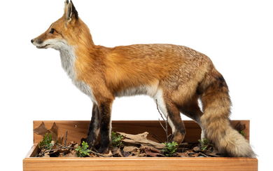 An American Red Fox Full-Body Mount