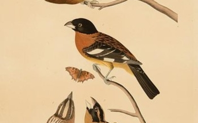 John James Audubon (American, 1785-1851)